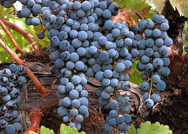 Grapes Poster featuring the photograph Zinfandel Wine Grapes by Charlette Miller