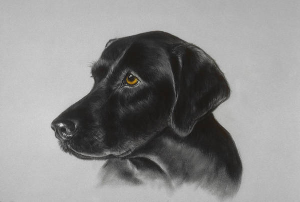 Dog Poster featuring the pastel Black Labrador by Patricia Ivy