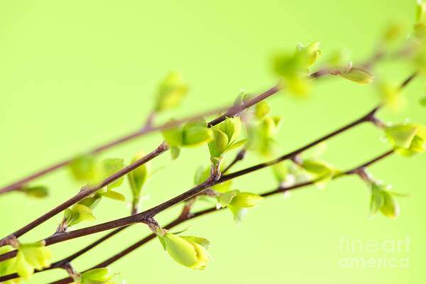 Spring Poster featuring the photograph Branches With Green Spring Leaves by Elena Elisseeva