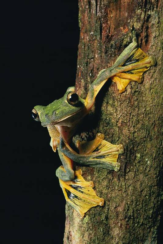 Borneo Island Poster featuring the photograph Close View Of A Wallaces Flying Frog by Tim Laman