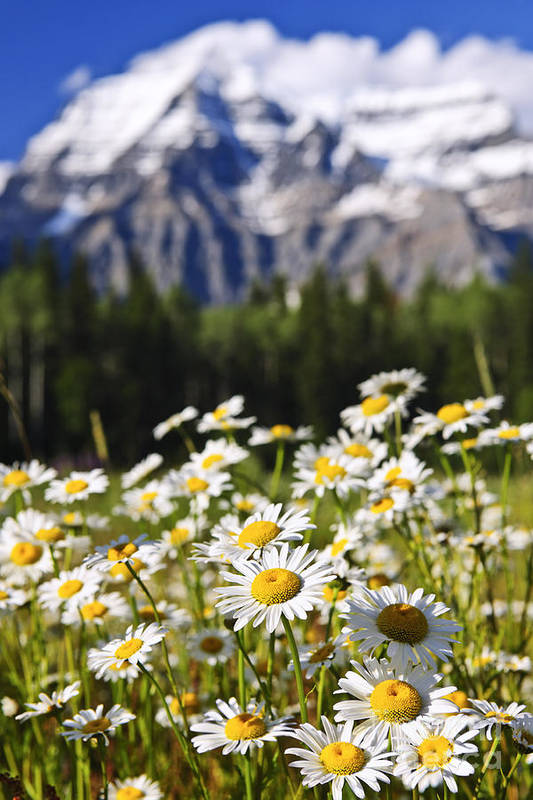 Daisies Poster featuring the photograph Daisies At Mount Robson Provincial Park by Elena Elisseeva