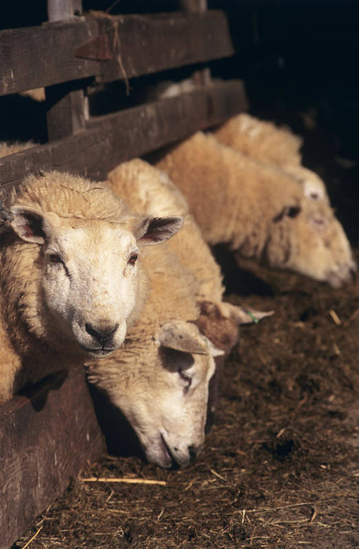 Ovis Aries Poster featuring the photograph Ewes Feeding by David Aubrey
