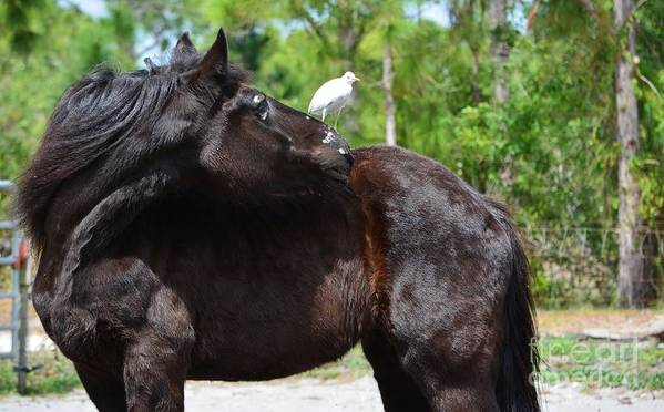 Percheron Poster featuring the photograph Get Off My Back by Lynda Dawson-Youngclaus