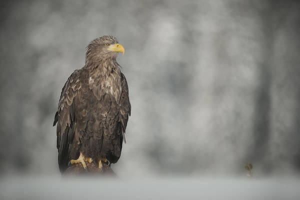 Eagle Poster featuring the photograph White-tailed Eagle by Andy Astbury