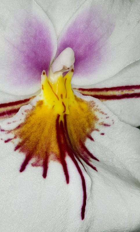 Orchid Poster featuring the photograph Exotic Orchid Flowers Of C Ribet by C Ribet