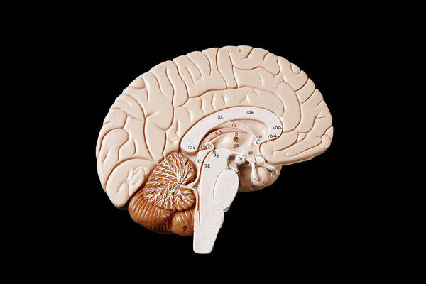 Horizontal Poster featuring the photograph Human Brain by Richard Newstead