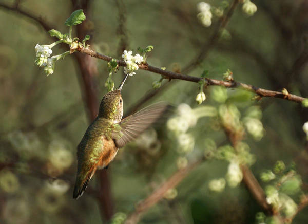 Hummingbird Poster featuring the photograph Hummingbird by Ernie Echols