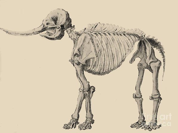 1800s Poster featuring the photograph Mastodon Skeleton by Science Source