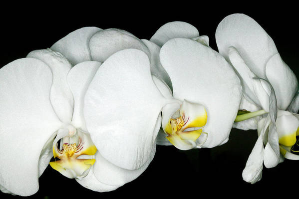 Ribet Poster featuring the photograph Exotic Orchids Of C Ribet by C Ribet