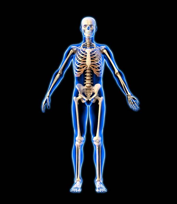 Human Poster featuring the photograph Male Skeleton, Artwork by Roger Harris