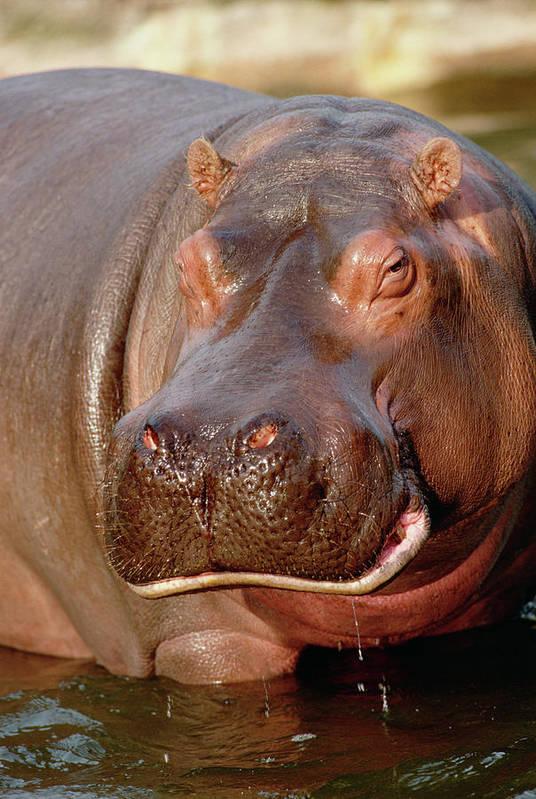 Mp Poster featuring the photograph Hippopotamus Hippopotamus Amphibius by Gerry Ellis