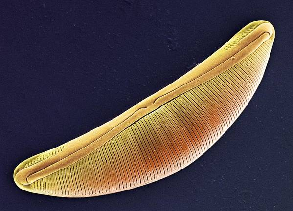 Navicula Sp. Poster featuring the photograph Diatom, Sem by Steve Gschmeissner
