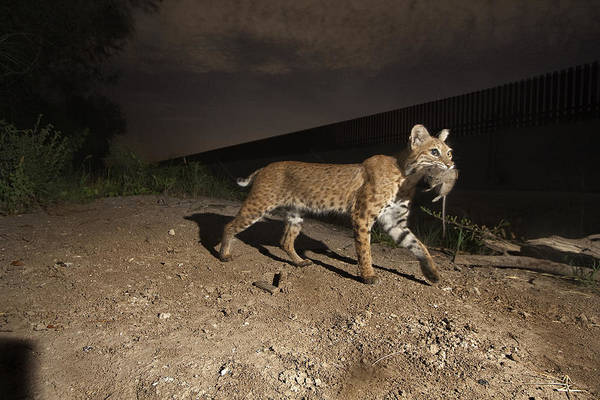 Outdoors Poster featuring the photograph A Bobcat Crosses A Rio Grande Border by Joel Sartore