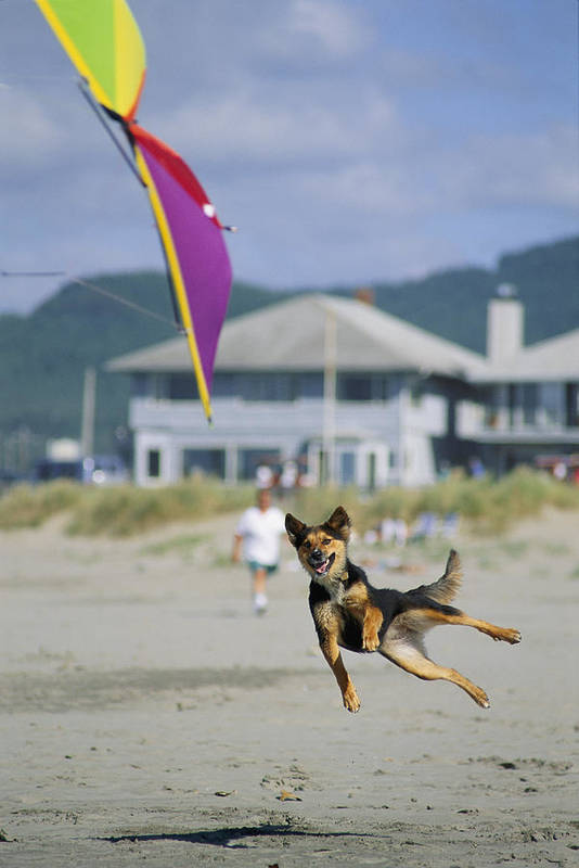 Lincoln City Poster featuring the photograph A German Shepherd Leaps For A Kite by Phil Schermeister