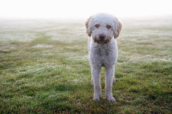 Horizontal Poster featuring the photograph A Spanish Water Dog Standing A Field by Julia Christe