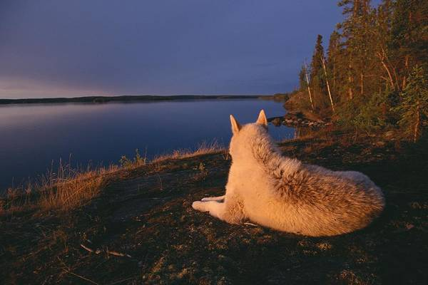 North America Poster featuring the photograph A White Husky Gazes At The Water by Paul Nicklen
