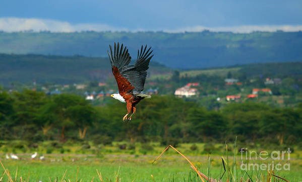 Africa Poster featuring the photograph African Fish Eagle Flying by Anna Omelchenko