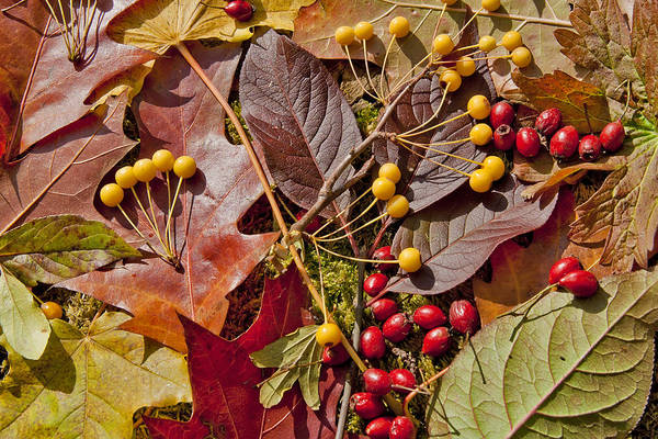 Leaves Poster featuring the photograph Autumn Berries And Leaves Background by Aleksandr Volkov