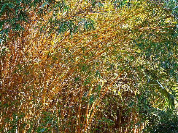 Nature. Bamboo. Trees. Yellow. Green. Leaves. Outdoors. Landscape. Forest. Texture. Poster featuring the photograph Bamboo Stand Please Buy Me by Michael Clarke JP