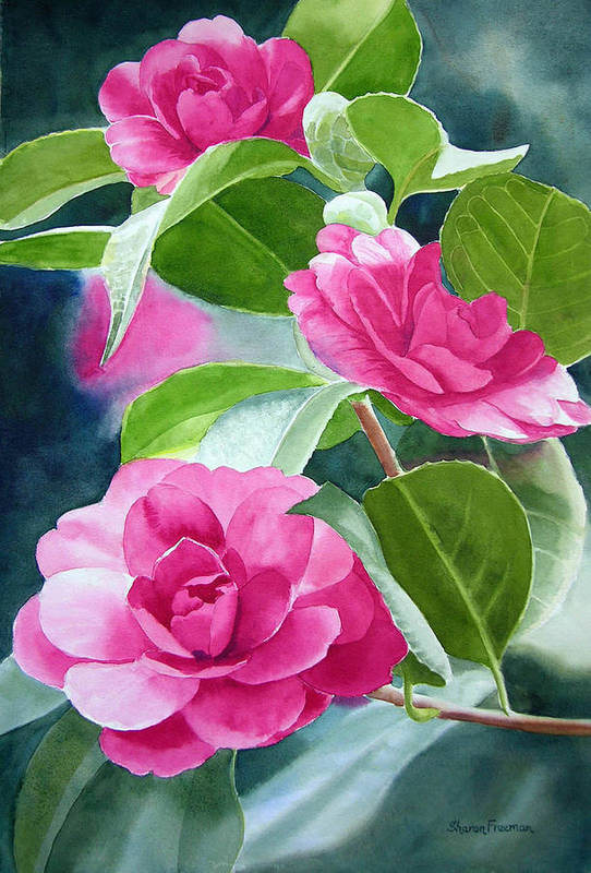 Pink Camellia Poster featuring the painting Bright Rose-colored Camellias by Sharon Freeman