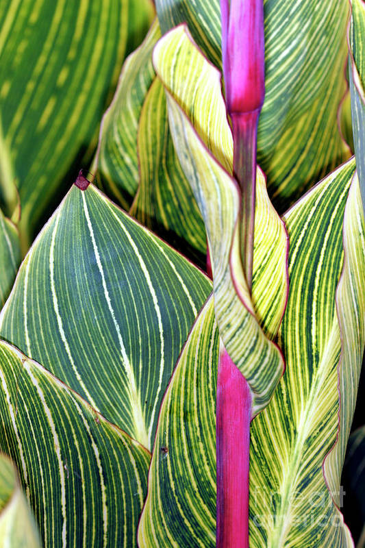 Canna Sp. Poster featuring the photograph Canna Lily Foliage by Dr Keith Wheeler