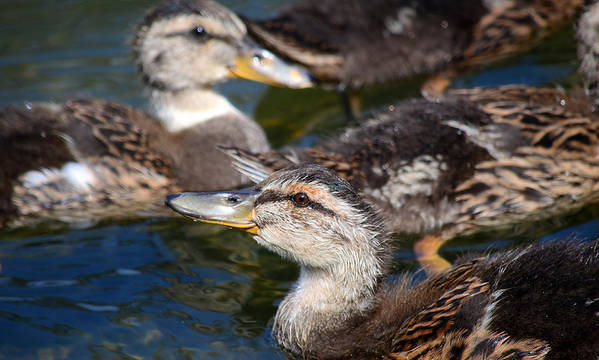 Baby Ducks Poster featuring the photograph Changing Directions by Fraida Gutovich