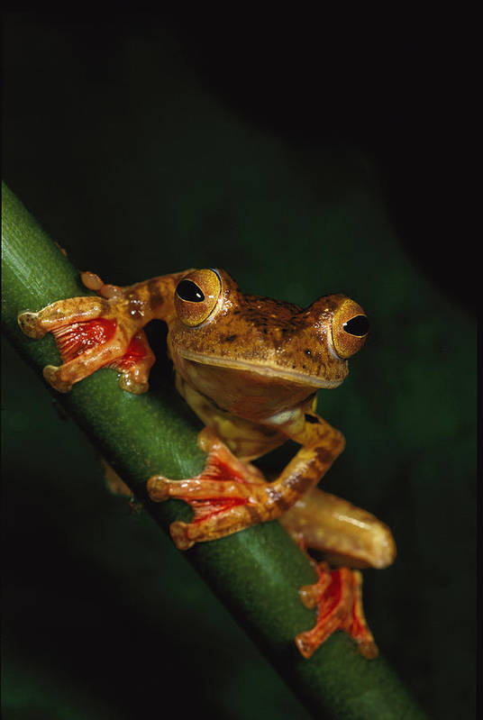 Borneo Island (indonesia);animal Portraits;close Views;flying Frogs;rhacophorus Pardalis;harlequin Tree Frogs;tree Frogs Poster featuring the photograph Close View Of A Harlequin Tree Frog by Tim Laman