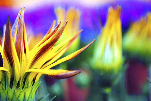 Colorful Poster featuring the photograph Colorful Flowers by Sumit Mehndiratta