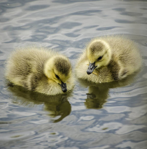 Duckling Poster featuring the photograph Curiosity by Heather Applegate