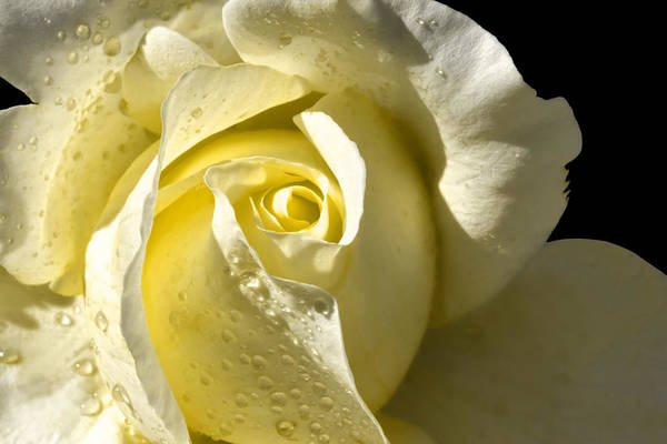 Yellow Rose Poster featuring the photograph Delightful Yellow Rose With Dew by Tracie Kaska