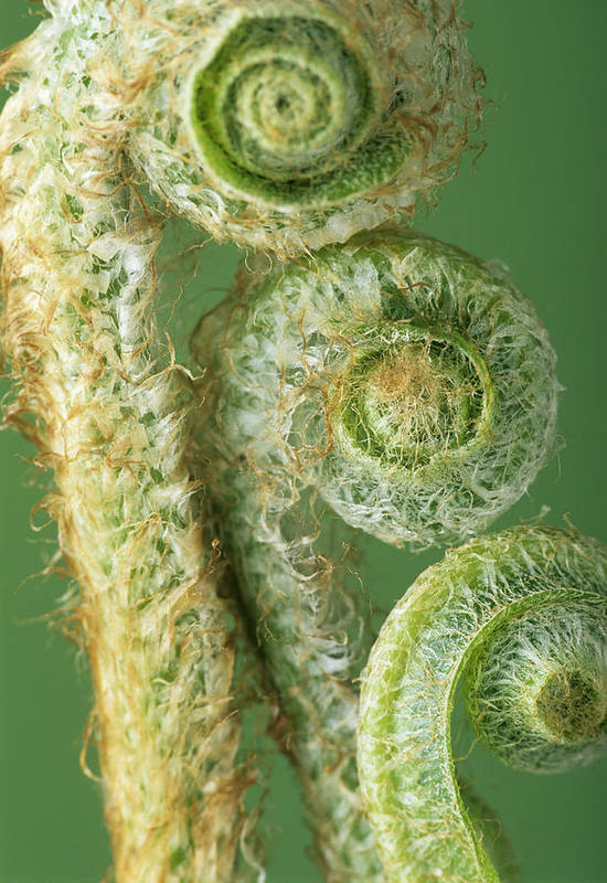 Fern Poster featuring the photograph Fern Fronds by David Aubrey