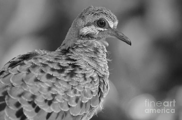 Mourning Dove Poster featuring the photograph Fledgeling In Bw by Lynda Dawson-Youngclaus