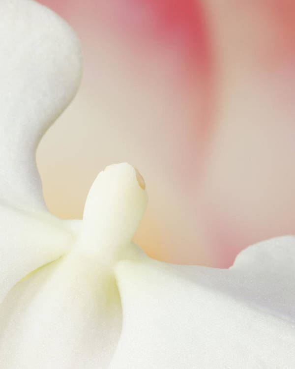 Orchid Flower Beautiful Orchid Pink And White Orchid Macro Flower Photography Floral Works Beautiful Pink And White Orchid Sensual Flower Abstract Spiritual Angelic Angel Flight Flower Poster featuring the photograph Flight Of The Orchid by Keith MacDonald