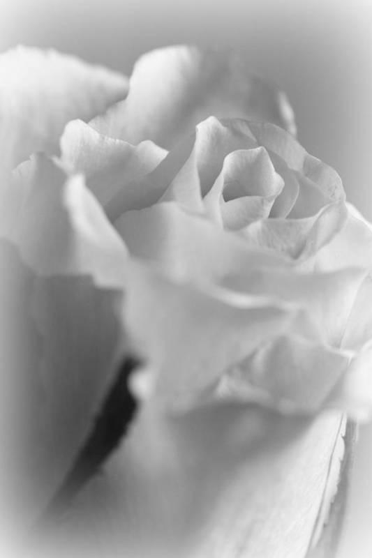 Friendship Rose In Black And White Poster by Mark J Seefeldt