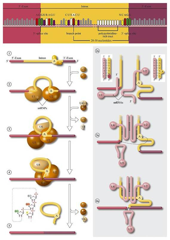 Dna Poster featuring the photograph Gene Splicing, Diagram by Art For Science