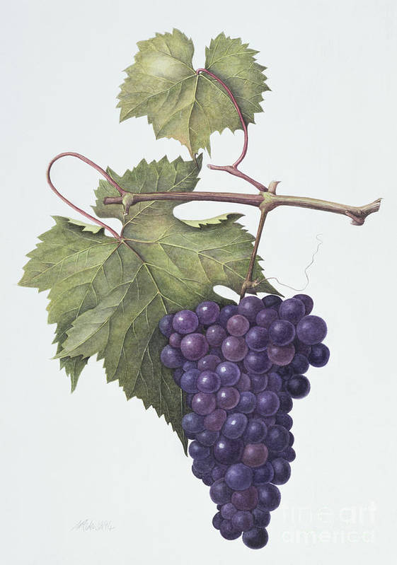 Bunch; Fruit; Purple; Red; Grape; Still Life; Branch; Grapes; Leaf; Leafs Poster featuring the painting Grapes by Margaret Ann Eden