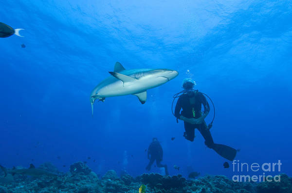 English Reef Poster featuring the photograph Gray Reef Shark With Divers, Papua New by Steve Jones