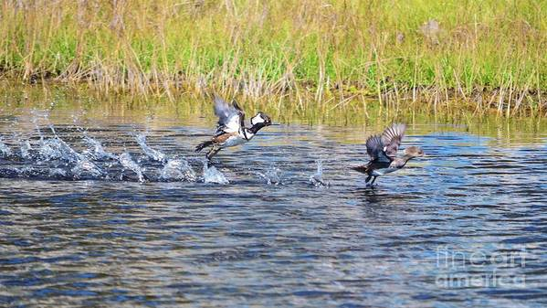 Hooded Merganser Poster featuring the photograph Hooded Mergansers Take Flight by Lynda Dawson-Youngclaus