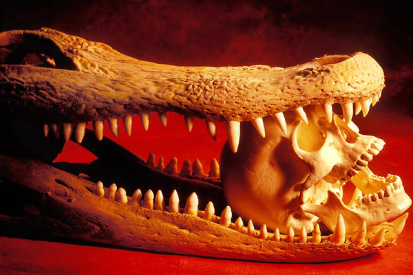 Human Skull Poster featuring the photograph Human Skull Alligator Skull by Garry Gay