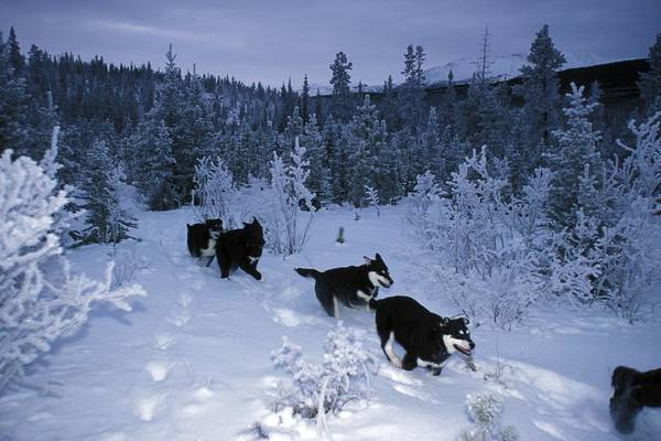 Yukon Territory Poster featuring the photograph Huskie Pups Out For A Run In The Snow by Paul Nicklen
