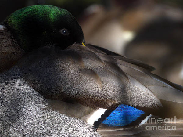 Mallard Drake Poster featuring the photograph Iridescent Blue by Sharon Talson