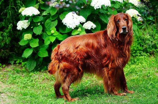 Dog Poster featuring the photograph Irish Setter IIi by Jenny Rainbow