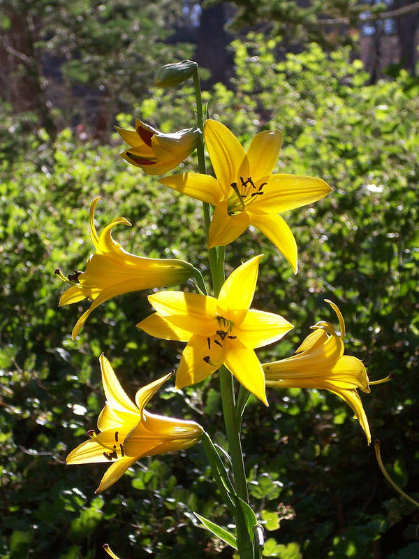 Lemon Lily Poster featuring the photograph Lemon Lily by Steve Huang