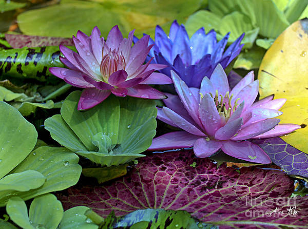 Blue Purple Violet Magenta Water Lily Lilies Poster featuring the photograph Lilies No. 27 by Anne Klar