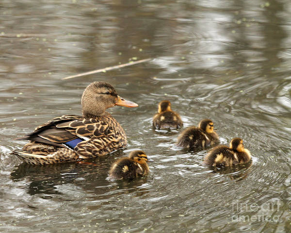 Birds Poster featuring the photograph Mama Mallard With Babies by Deborah Smith