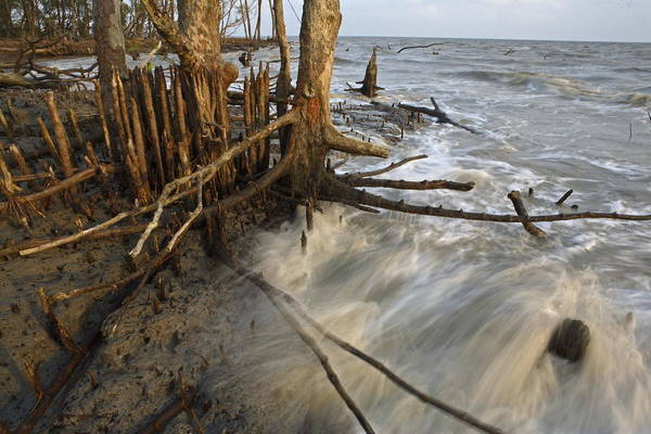 Outdoors Poster featuring the photograph Mangrove Trees Protect The Coast by Tim Laman
