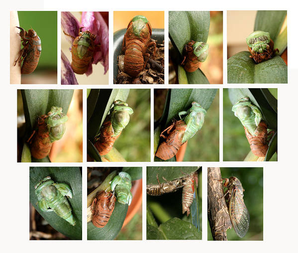 M Adult Poster featuring the photograph Metamorphosis Of A Cicada by Emanuel Tanjala