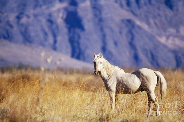Fauna Poster featuring the photograph Mustang by Mark Newman and Photo Researchers