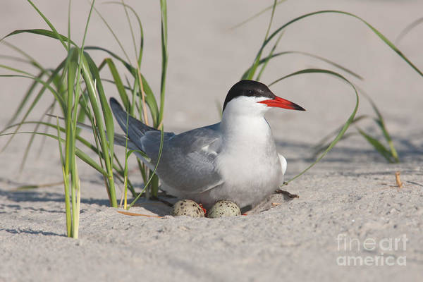 Clarence Holmes Poster featuring the photograph Nesting Common Tern by Clarence Holmes