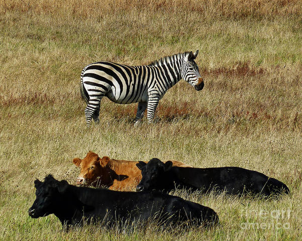 Zebra Poster featuring the photograph One Is Not Like The Others by Methune Hively